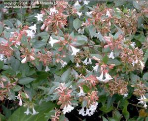 Abelia_x_grandiflora