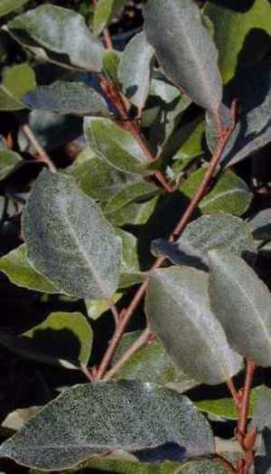 Elaeagnus_fruitlandii