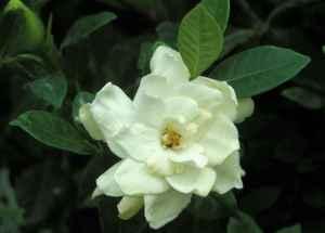 Gardenia20augusta