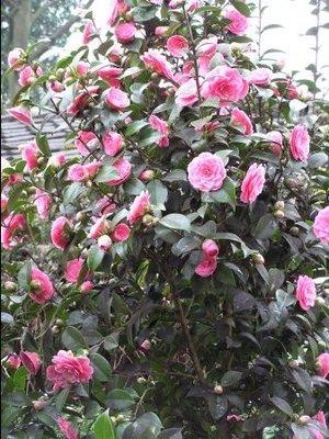 Kk_camellia_japonica_dr_tinsley__4_15r